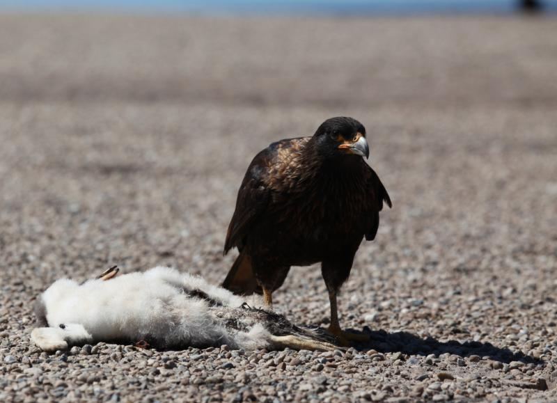 A gentoo penguin chick killed by a bird of prey.