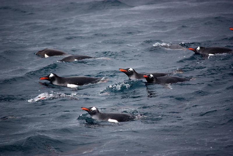 A group of swimming gentoo penguins.