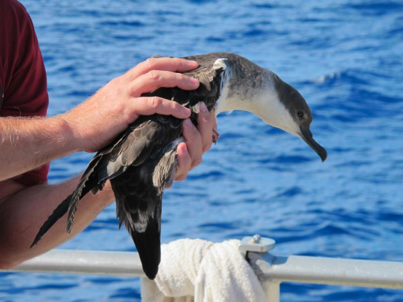When Great Shearwaters are blown ashore by strong winds and storms, they have to be taken to a rehabilitation center before being released back to the ocean.
