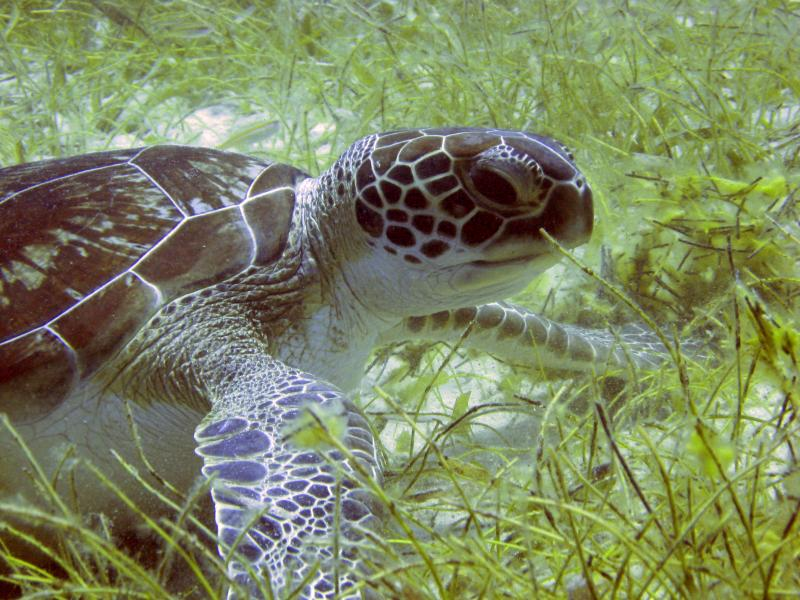 Green turtles (Chelonia mydas) live in the warm coastal waters of tropical and subtropical oceans. Adults sometimes eat sponges, salps (floating jelly-like animals), and jellyfish, but they feed mostly on plants, like seagrass and algae. The pigment f