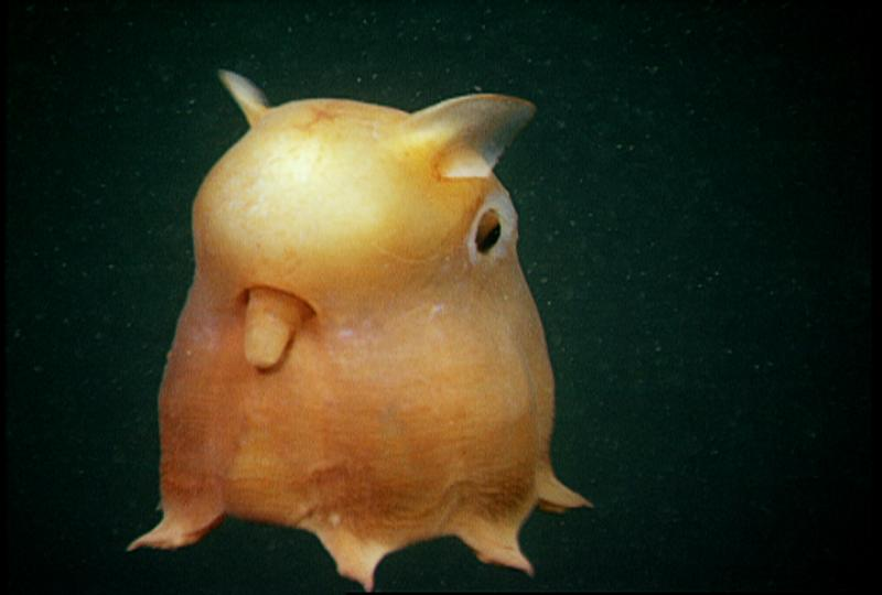 "The ""Dumbo Octopod"" swims by moving its fins, pulsing its webbed arms, or pushing water through its funnel for jet propulsion."