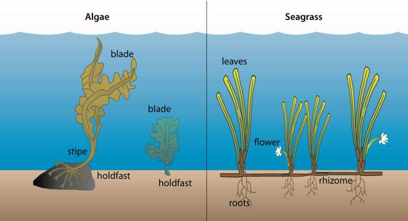 "Algae or ""seaweeds"" (left) differ from seagrasses (right) in several ways."
