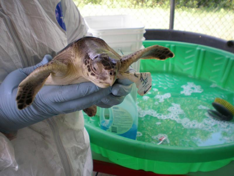 A young Kemp's ridley sea turtle in recovery.