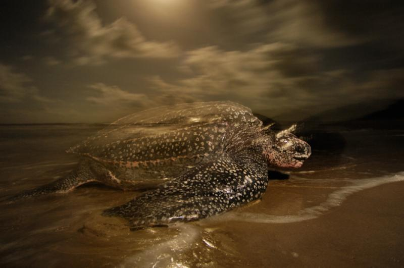 An adult leatherback turtle makes its way back to shore from the ocean.