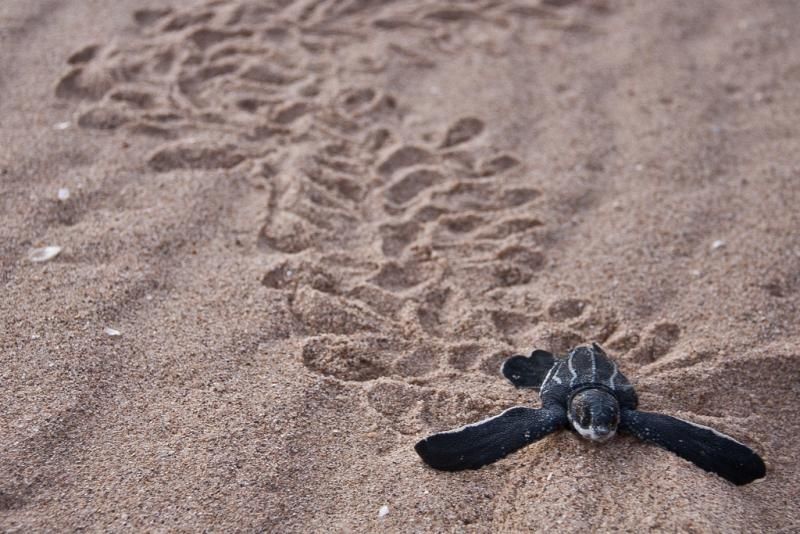 A newly hatched leatherback turtle moves in the sand.