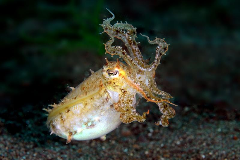 A Cuttlefish with its arms splayed