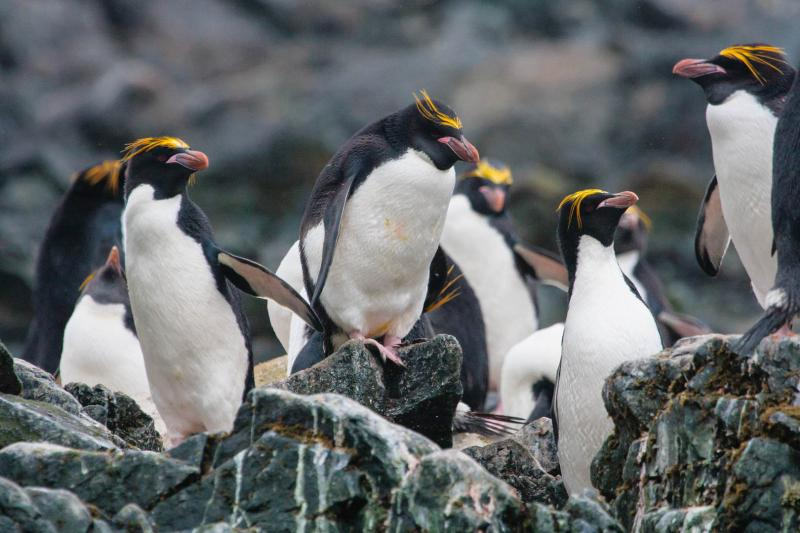 A group of macaroni penguins on rocks.