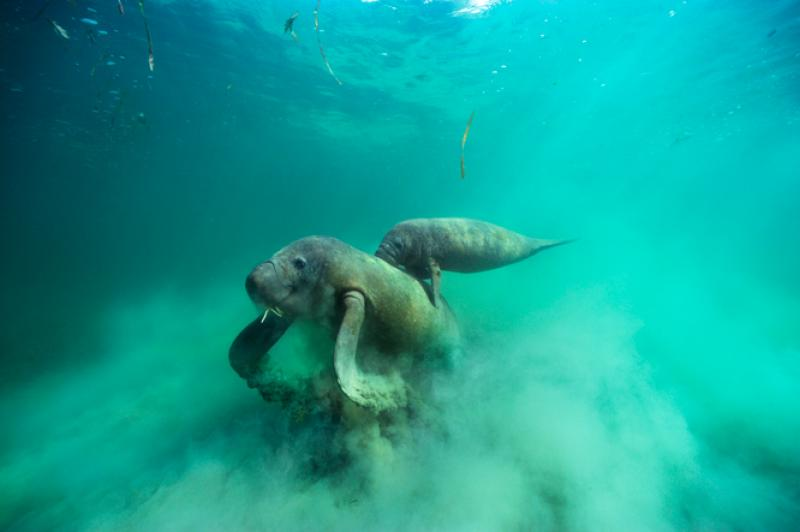 A female manatee and her calf are captured on film foraging in seagrass off the coast of Brazil.