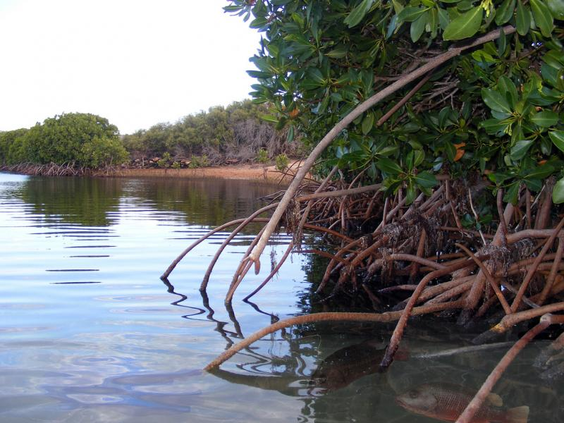 Atmospheric carbon is captured by coastal mangroves, seagrasses and salt marshes at a rate five times faster than tropical forests.