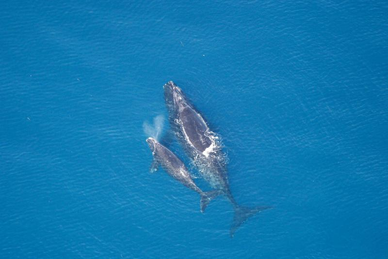 A Northern right whale swims with her calf.