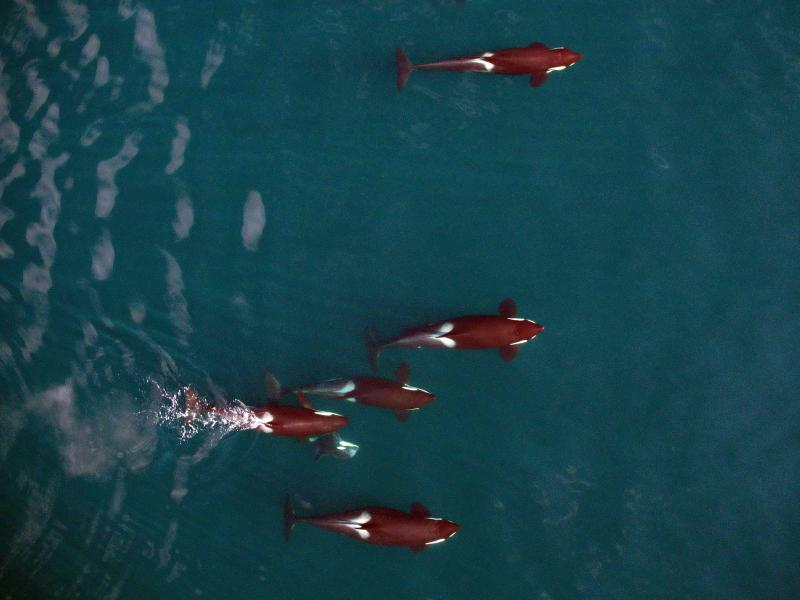A pod of killer whales from above.
