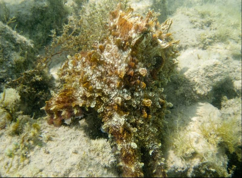This day octopus (Octopus cyanea) has shaped itself like seagrass or some coral so hide from predators or stalk prey.