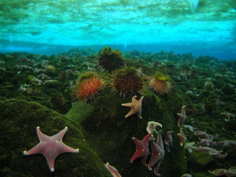 The sea star Odontaster validus and sea urchin Sterechinus neumayeri are often found living in association with one another along the Antarctic coastline, here during the Census of Marine Life.