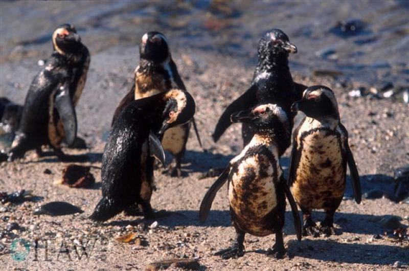 A group of oiled penguins.