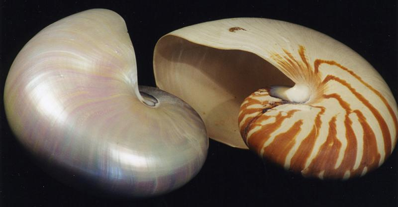 Pearly nacre of a nautilus shell