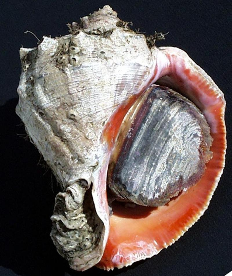 Image of a rapa whelk, a large marine snail retreated into its shell