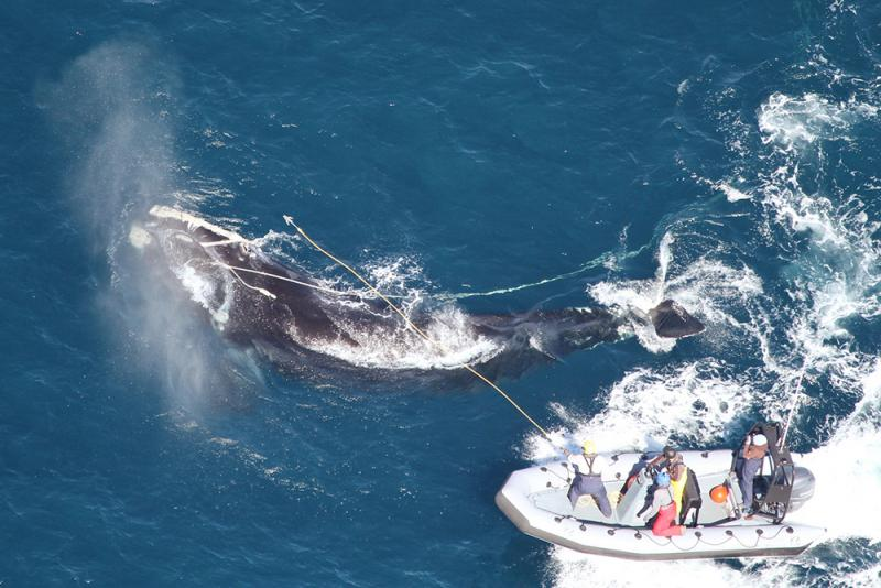A team works to disentangle a right whale.