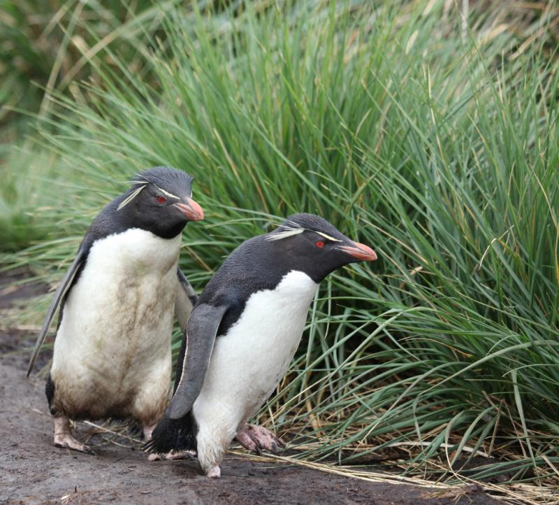 Rockhopper penguins in the Falkland Islands.