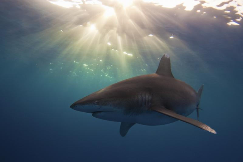 Oceanic white tip shark near Cat Island, Bahamas.