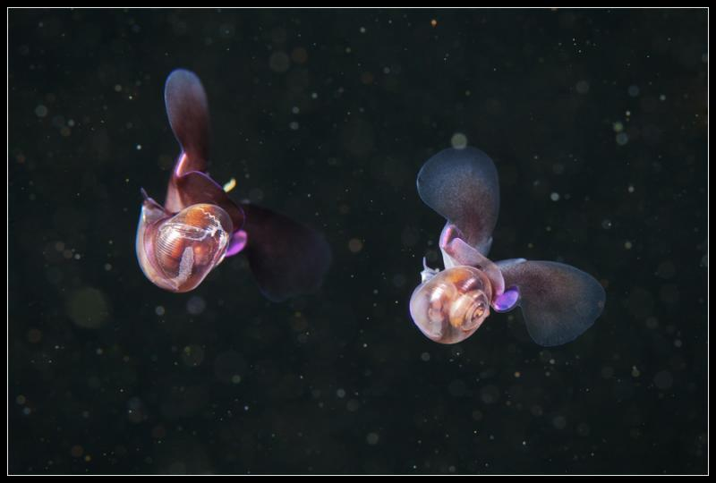 A pair of sea butterflies float in the Arctic ocean.