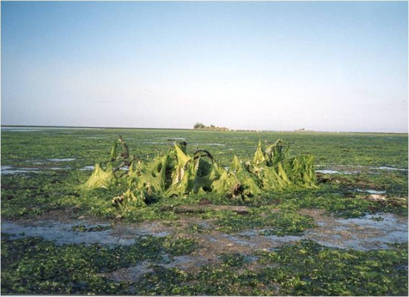 Algae covers beds of seagrass.