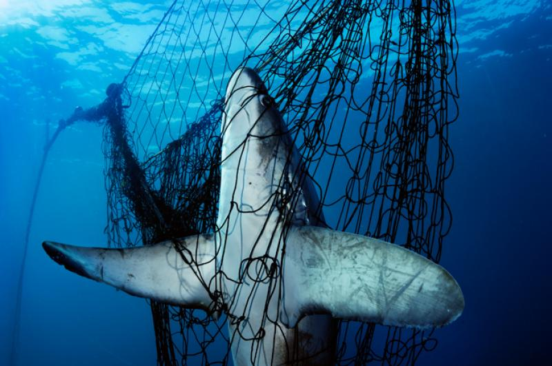 A thresher shark was killed after becoming stuck in a gillnet.
