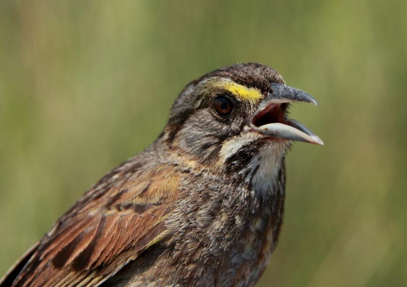 A close-up look of the seaside sparrow.