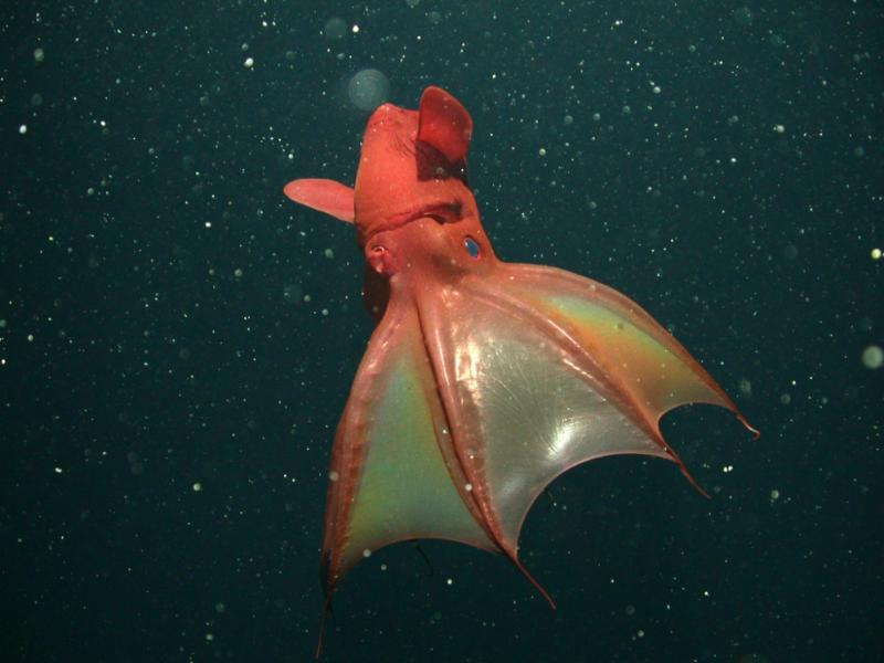 "Despite its demonic look, the vampire squid collects and eats drifting particles called ""marine snow"" using two long, sticky filaments."