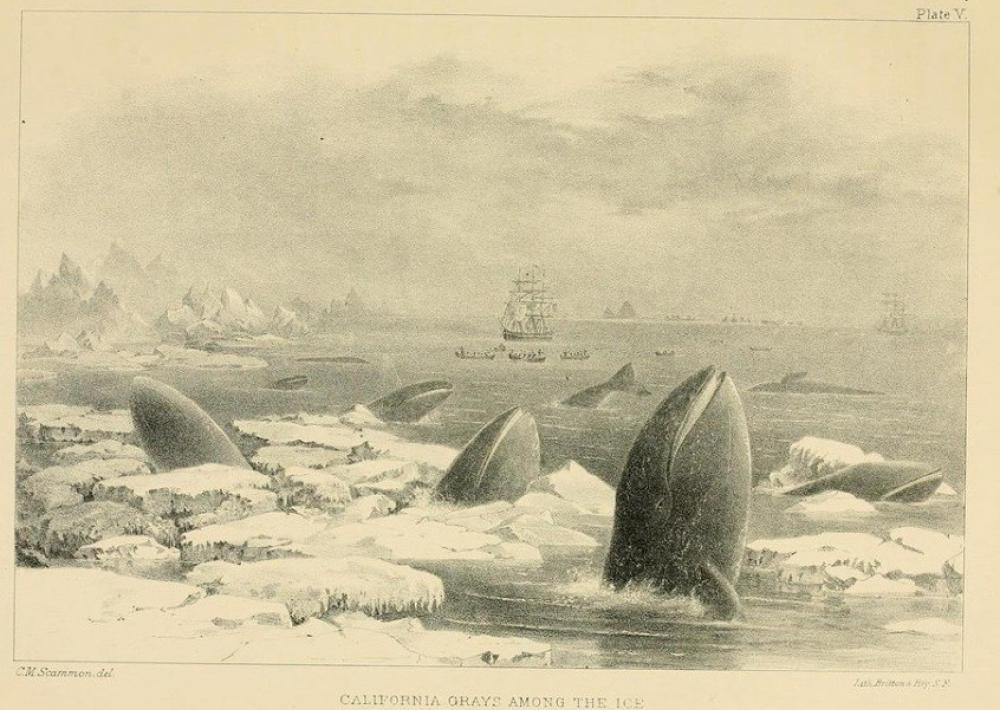 This 1874 illustration of California gray whales (Eschrichtius robustus) shows a group of individuals at the edge of their modern day range in the North Pacific Ocean, blocked from traveling further east into Arctic waters by thick ice barriers.