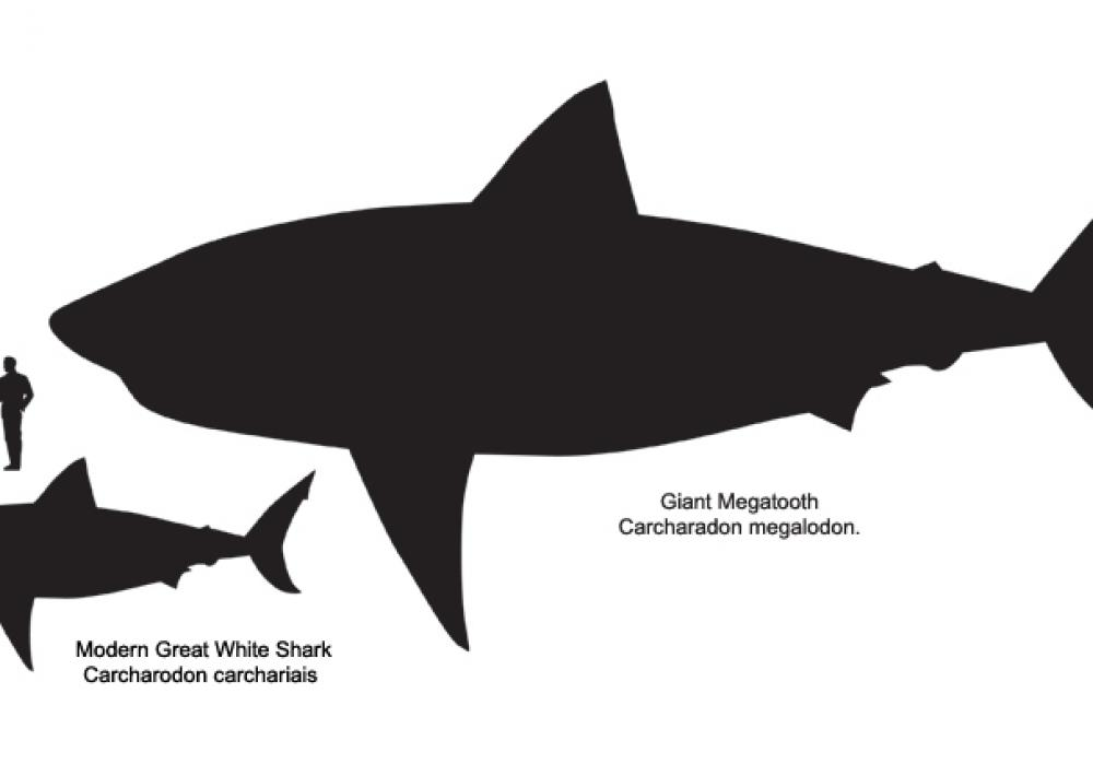 How Big Are Great White Sharks Smithsonian Ocean