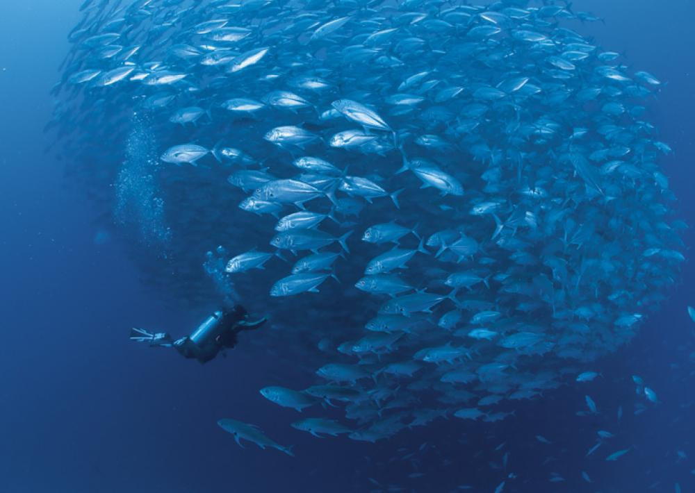 An underwater photo of a school of jacks and a scuba diver