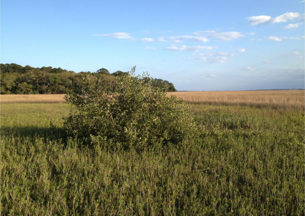 A newly established black mangrove sits in a field of salt marsh near the northern limit of mangroves in Florida. Mangroves have been expanding near their northern limit in Florida and the expansion is linked to a reduction in the frequency of ex