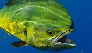 A green mahi-mahi fish underwater