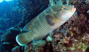 A female napoleon wrasse swims by a reef