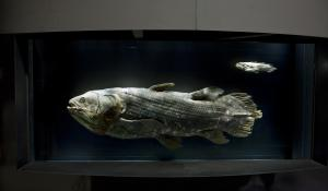 an adult and baby coelacanth specimens on display