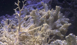 two brittle stars in a tank