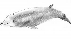 A black and white illustration of a Cuvier's beaked whale.