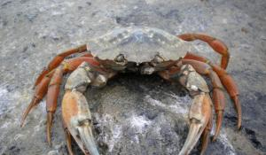A photo of a solitary European green crab on a sandy substrate.
