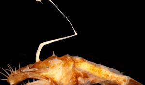 A deep sea anglerfish called a dreamer
