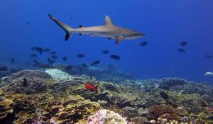 Grey reef sharks are among the most versatile and tough predators on a Pacific coral reef, but they are also among the most vulnerable species, as they are threatened by wasteful fishing practices like shark finning.