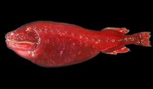 A red deep-sea fish specimen.