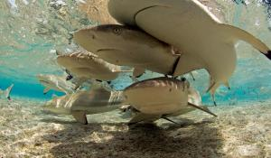 An underwater photo of sharks