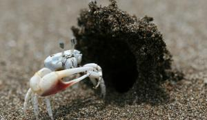 "This male dancing fiddler crab (Uca terpsichores) has built a sand ""hood"" at the entrance to his burrow, which he hopes will attract females to his humble abode—as if that big beautiful claw of his weren't enough!"