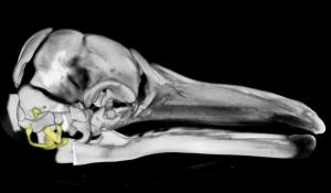 A 3-D reconstruction of the skull of a fin whale fetus.