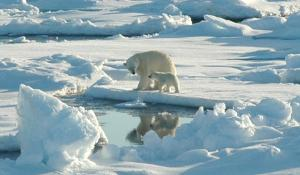 Polar bears are threatened by a lack of sea ice.