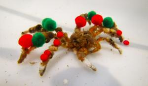 green and red pom poms adorn a decorator crab