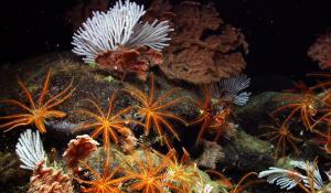 Black coral, primnoid coral, and feather stars flourish deep on the pristine Davidson Seamount.
