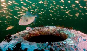 Fish swim around the wreck of the HMT Bedfordshire, an Arctic fishing trawler that was converted into an anti-submarine warship during World War II, and sunk off the coast of North Carolina.