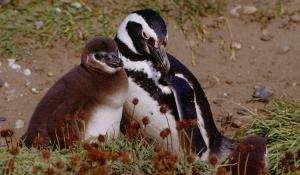 Magellanic penguin parents typically lay two eggs under a bush or in a burrow, taking turns swimming out to sea to catch food for their chicks.