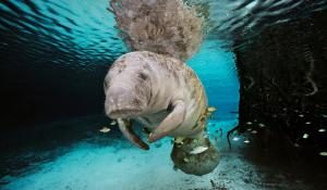 A manatee swims in Crystal River, Florida.